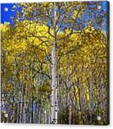 Beautiful Aspen Tree Acrylic Print