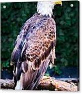 Beautiful Bald Eagle Acrylic Print by Jason Brow