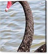 Beautiful Black Swan Acrylic Print