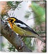 Beautiful Blackburnian Warbler Acrylic Print