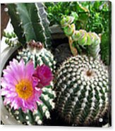 Beautiful Blooming Cactuses Acrylic Print