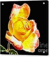 Beautiful Blooming Yellow Rose Acrylic Print
