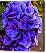 Beautiful Blue Hydrangea Acrylic Print