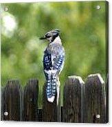 Beautiful Blue Jay Acrylic Print