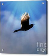 Beautiful Blue Jay In Flight Silhouette Acrylic Print