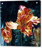 Gorgeous Tulip Acrylic Print