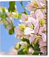 Beautiful Bougainvillea Flowers Against Blue Sky Acrylic Print