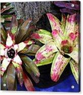Beautiful Bromeliads Acrylic Print