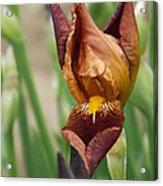 Beautiful Brown Bearded Iris Acrylic Print