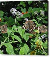 Beautiful Buckeyes Acrylic Print