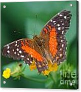 Red Anartia Butterfly 1 Acrylic Print