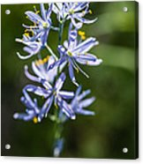 Beautiful Camas Lily In Idaho Acrylic Print