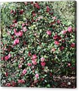 Beautiful Camellia Bush Acrylic Print
