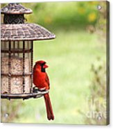 Beautiful Cardinal Acrylic Print