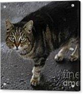 Beautiful Cat Acrylic Print