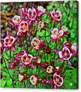 Beautiful Columbine   Acrylic Print