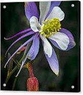 Beautiful Columbine Acrylic Print