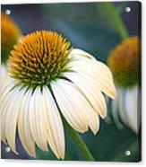 Beautiful Coneflowers Acrylic Print