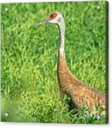Beautiful Crane Acrylic Print