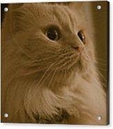 Beautiful Creamy Persian Cat Mix Portrait Acrylic Print