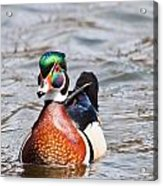 Beautiful Duck Acrylic Print