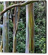 Beautiful Eucalyptus Acrylic Print