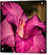 Beautiful Gladiolus Acrylic Print