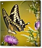 Beautiful Golden Swallowtail Acrylic Print