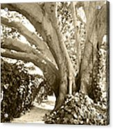 Beautiful Griffith Park Huge Trunk Tree Sepia Black White Vintage Earthy Fine Art Decorative Print Acrylic Print by Marie Christine Belkadi