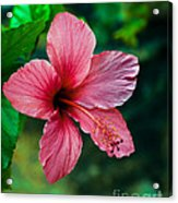 Beautiful Hibiscus Acrylic Print