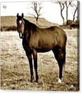 Beautiful Horse Acrylic Print