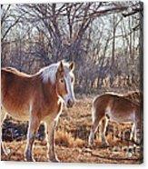 Beautiful Horses Acrylic Print