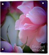 Beautiful Lavender And Purple Roses Acrylic Print