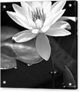 Beautiful Lilly Acrylic Print