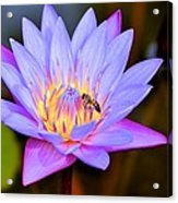 Beautiful Lily And Visiting Bee Acrylic Print
