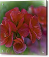 Beautiful Little Red Flowers Acrylic Print
