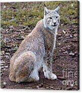 Beautiful Lynx Acrylic Print