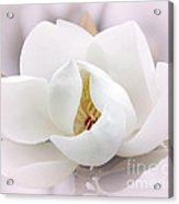 Beautiful Magnolia Bloom Acrylic Print
