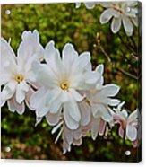 Beautiful Magnolias 2 Acrylic Print by Victoria Sheldon