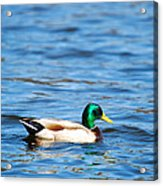 Beautiful Male Mallard Acrylic Print
