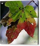 Beautiful Maple Leaf Acrylic Print