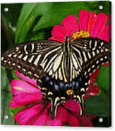 Beautiful Swallowtail Butterfly Acrylic Print