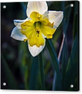Beautiful Narcissus Acrylic Print