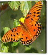 Beautiful Orange Butterfly - Gulf Fritillary Acrylic Print