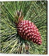 Beautiful Pine Acrylic Print