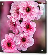 Beautiful Pink Blossoms Acrylic Print by Robert Bales