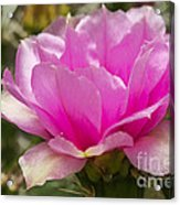 Beautiful Pink Cactus Flower Acrylic Print