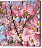 Beautiful Pink Dogwood Tree Flowers Acrylic Print