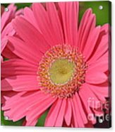 Beautiful Pink Gerber Daisies Acrylic Print
