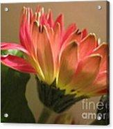 Beautiful Pink Gerbera Daisy 2 Acrylic Print